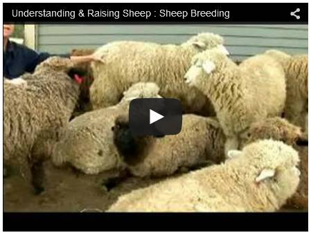 Click To Watch Video On Raising Sheep
