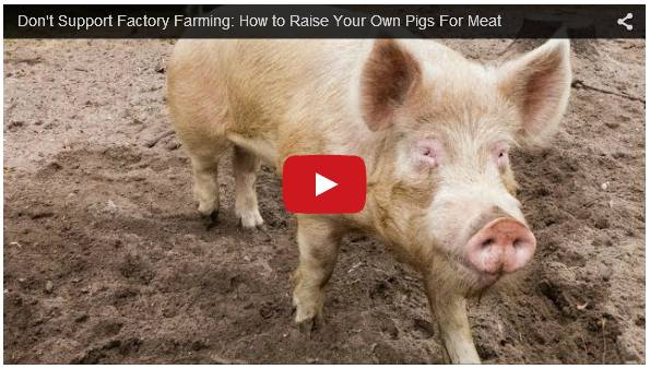Click To Watch Video On Backyard Pig Farming