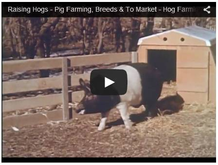 Profitable Pig Farming