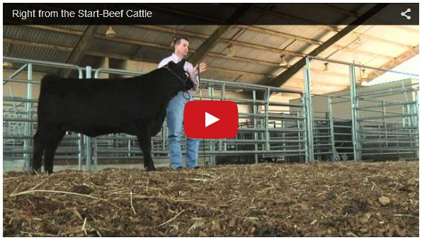 Click To Watch Video On Raising Cattle