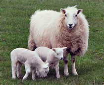 Guide to Sheep Breeding