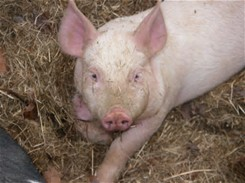 Successful Pig Farming Guide