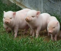 guide to profitable pig farming Maryland university swine production resources  profitable pork  managing  for herd health in alternative swine systems: a guide.