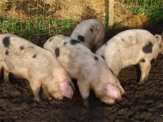 How To Setup A Pig Farming Business
