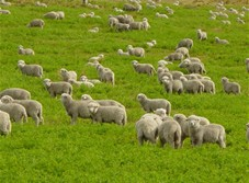 Starting A Sheep Farm At Home
